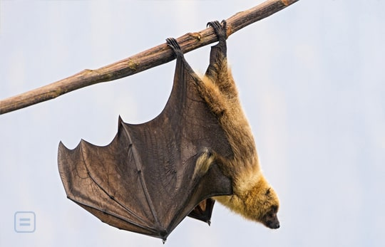 Bats Hang Upside Down Also To Escape Predators Middle And Above Grade 6
